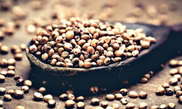 sorghum bicolor grains on a wooden spoon