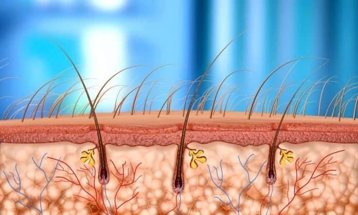 illustration of vellus hair on beard